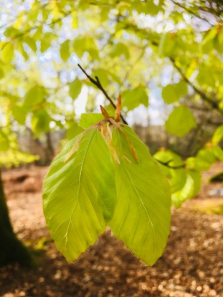 Beech leaves are deliciously edible and have a pleasant citrus/salad taste. A great salad addition and easy to pluck off the trees.